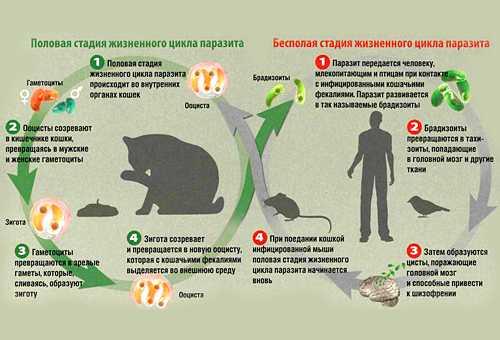 таблица жизненного цикла паразитов