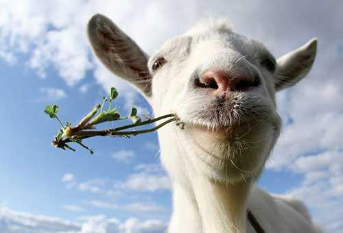 Коза жует травку