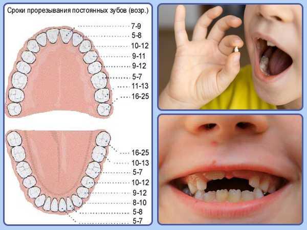 В какой последовательности идет смена зубного ряда?